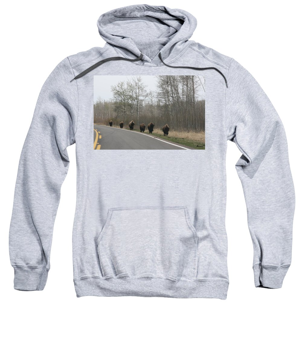 Buffalo Bison Herd Roaming National Park Edmonton Ab Elk Island Sweatshirt featuring the photograph Single File Now by Andrea Lawrence