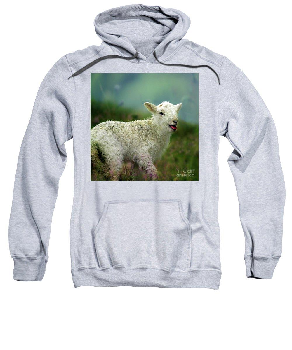 Lamb Sweatshirt featuring the photograph Swet Little Lamb by Angel Ciesniarska