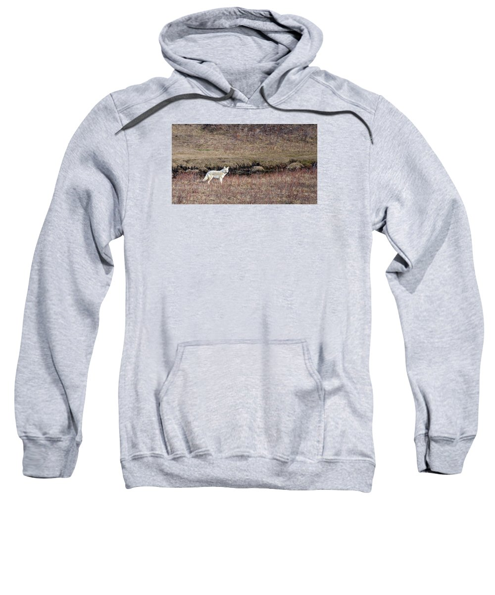 Coyote Sweatshirt featuring the photograph The Hunter by Whispering Peaks Photography