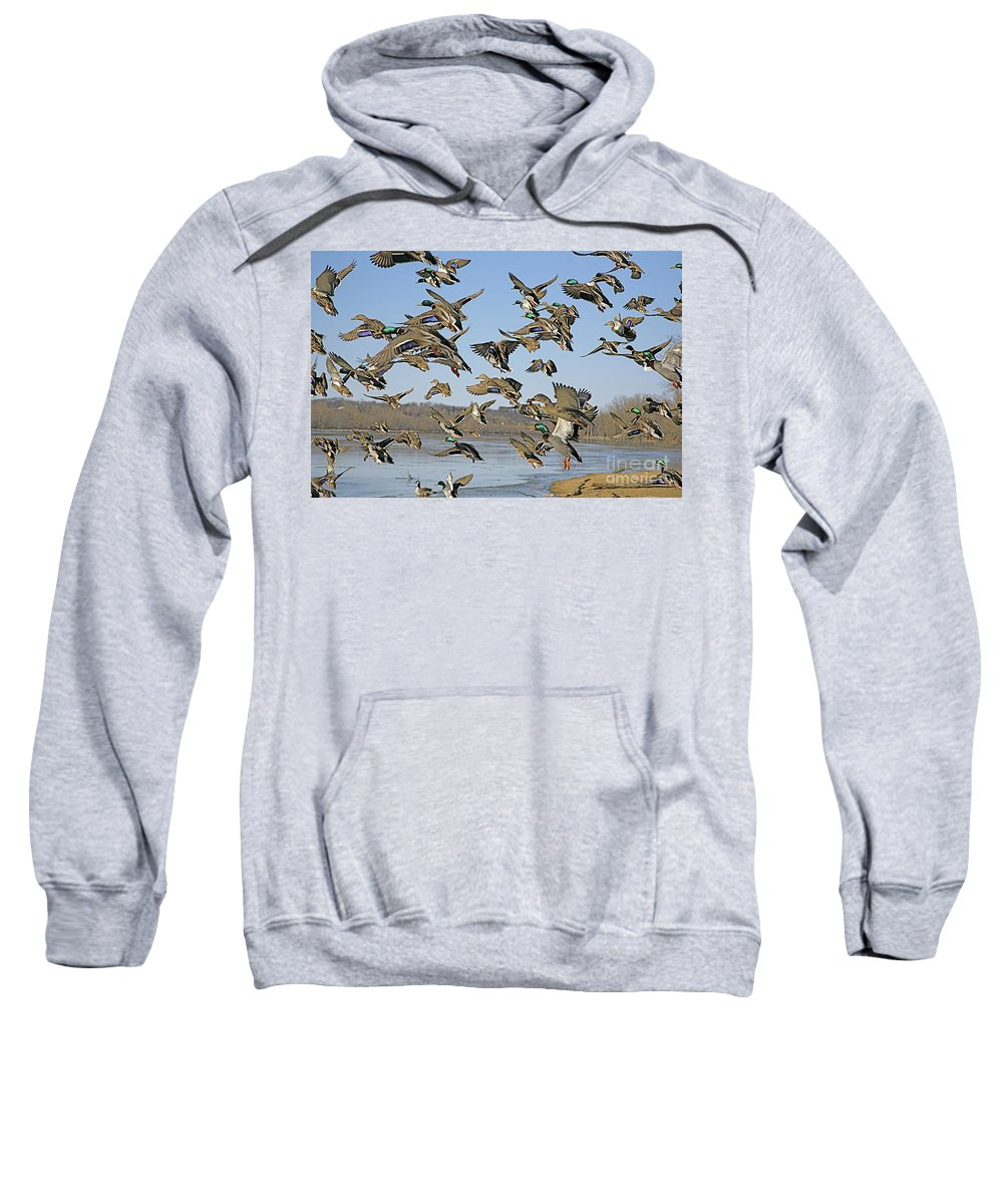 Ducks Sweatshirt featuring the photograph The Mad Rush by Robert Pearson