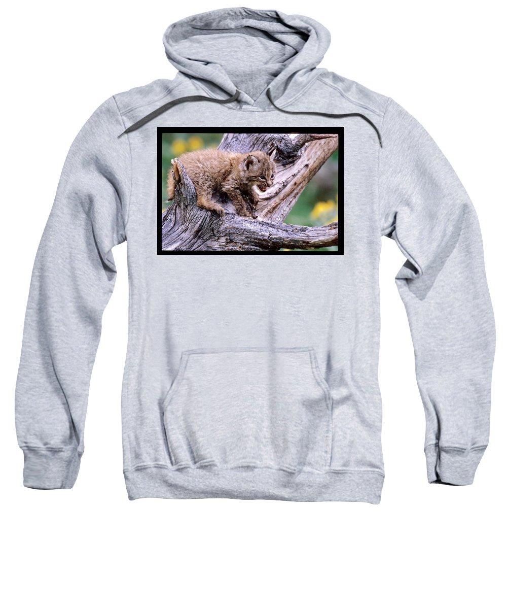 Wildlife Sweatshirt featuring the photograph Tiny Bobcat Kitten by Larry Allan
