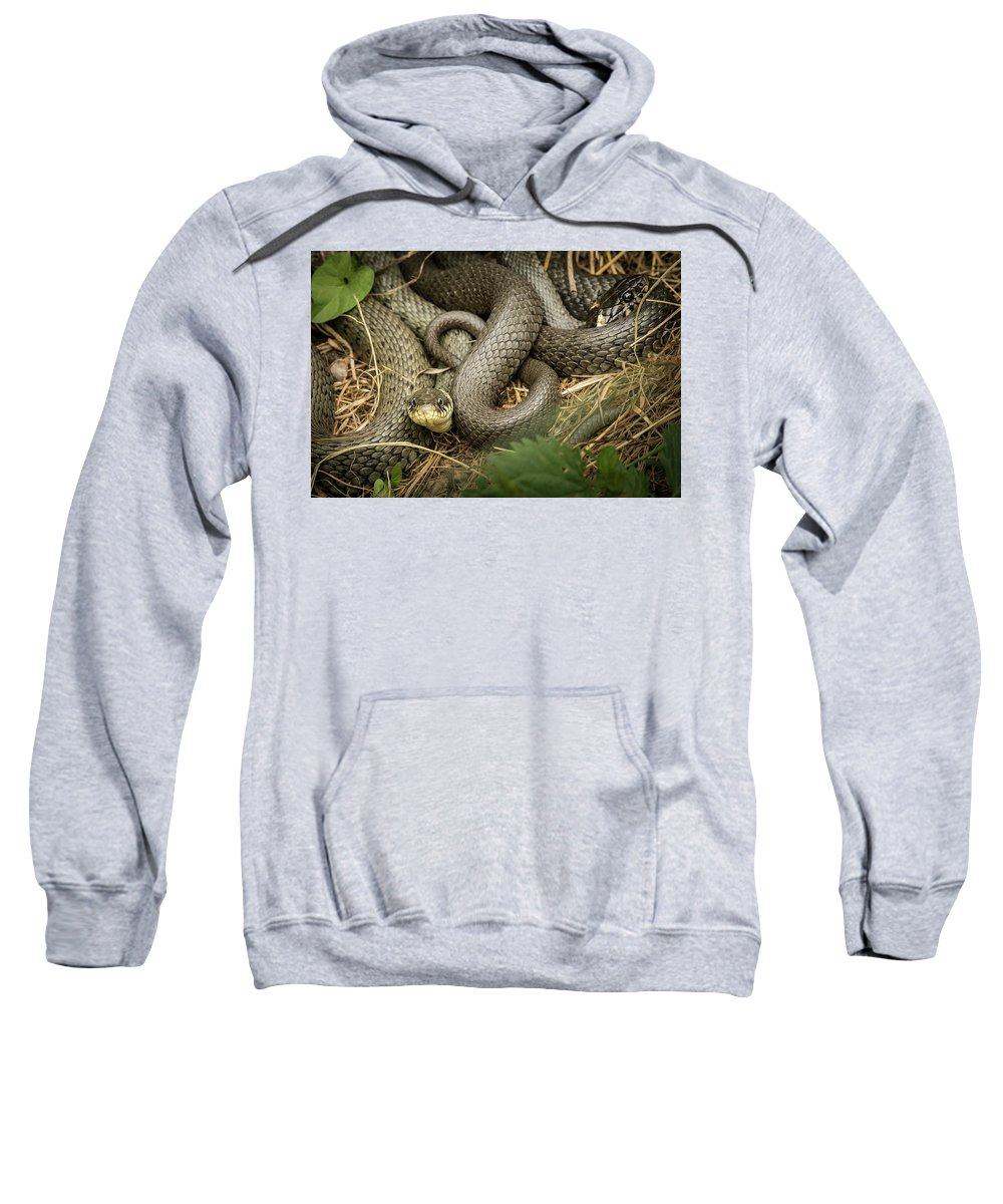 Natrix Sweatshirt featuring the photograph Two Intertwined Grass Snakes Lying In The Sun by Stefan Rotter