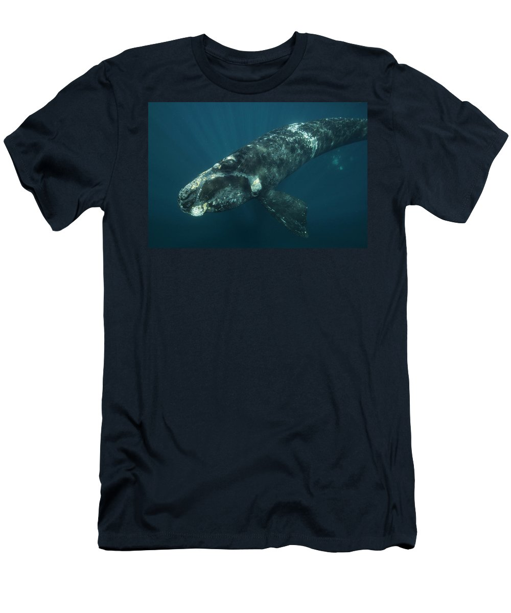Feb0514 Men's T-Shirt (Athletic Fit) featuring the photograph Southern Right Whale Calf Valdes by Hiroya Minakuchi