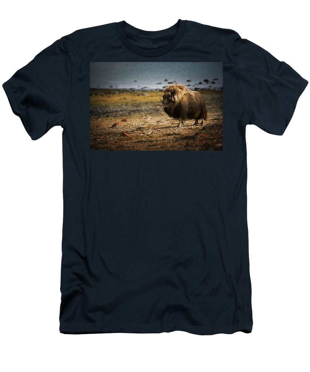 Animals Men's T-Shirt (Athletic Fit) featuring the photograph Muskox Ovibos Moschatusin The Northwest by Darren Greenwood