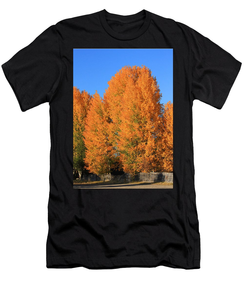 Aspens Men's T-Shirt (Athletic Fit) featuring the photograph Dm5532-aspens In Fall by Ed Cooper Photography