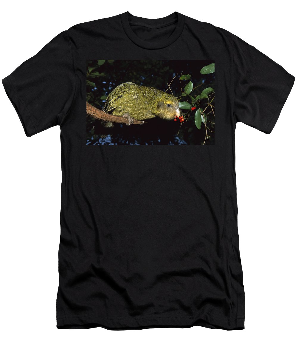 Feb0514 Men's T-Shirt (Athletic Fit) featuring the photograph Kakapo Feeding On Supplejack Berries by Tui De Roy