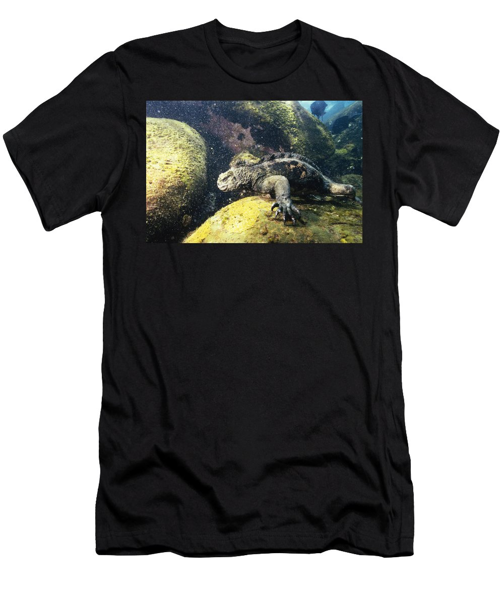 Feb0514 Men's T-Shirt (Athletic Fit) featuring the photograph Marine Iguana Grazing On Seaweed by Tui De Roy