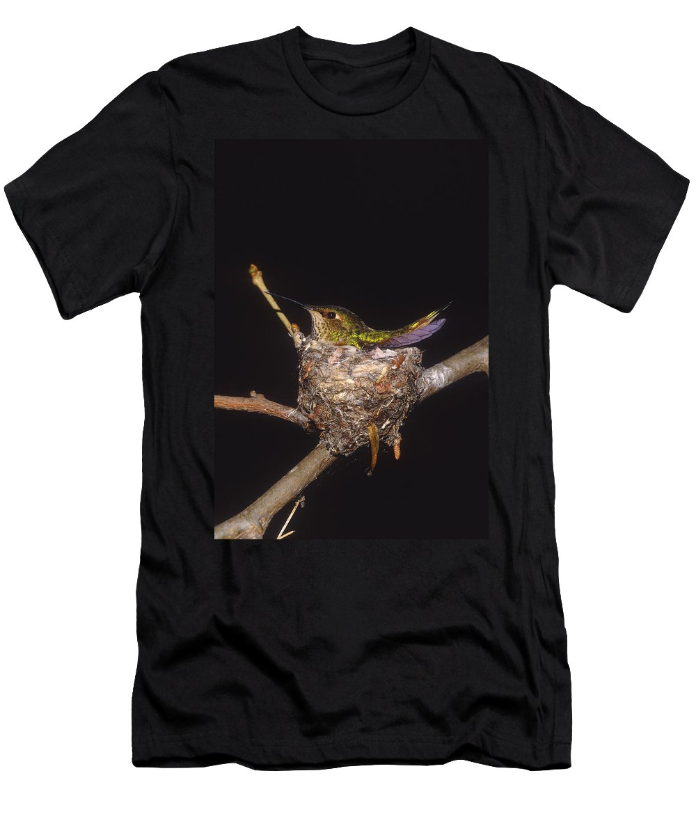 Feb0514 Men's T-Shirt (Athletic Fit) featuring the photograph Allens Hummingbird Female Nesting by Tom Vezo