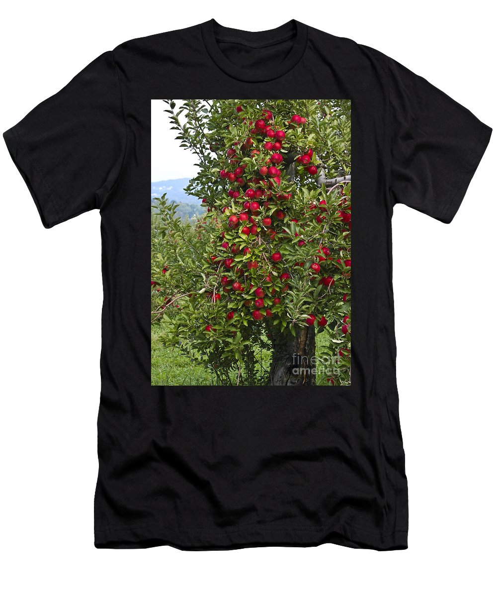 Apple Men's T-Shirt (Athletic Fit) featuring the photograph Apple Tree by Anthony Sacco