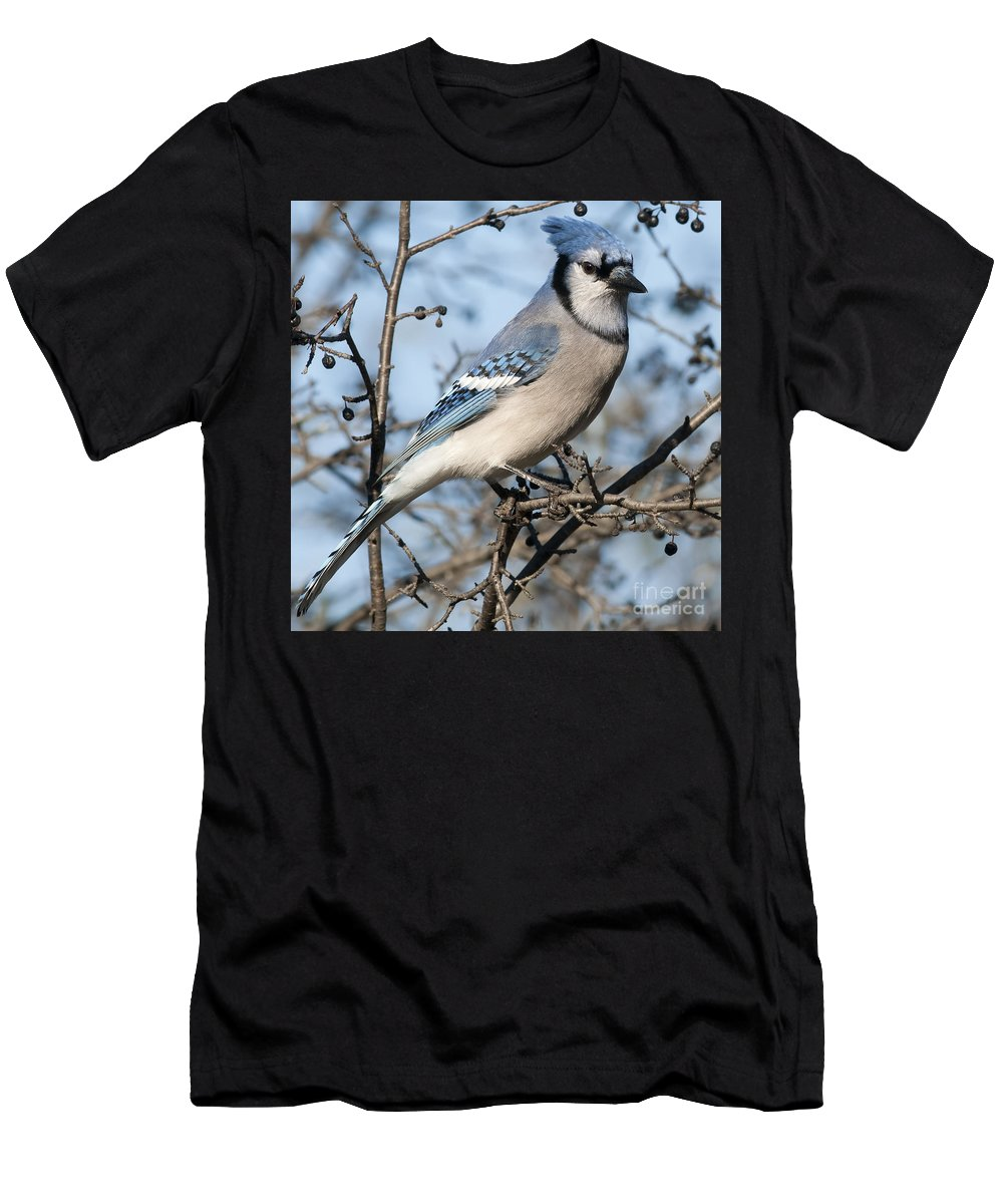 Festblues Men's T-Shirt (Athletic Fit) featuring the photograph Blue Jay.. by Nina Stavlund