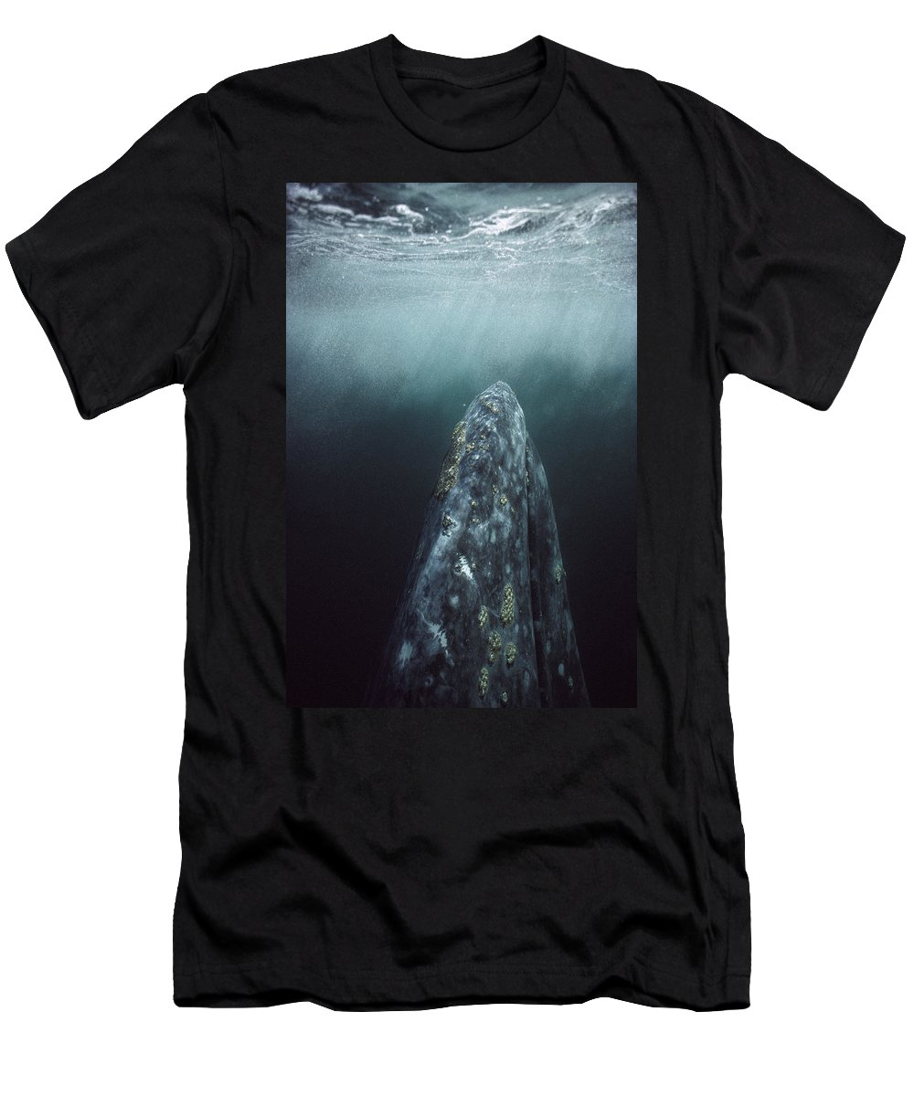 Feb0514 Men's T-Shirt (Athletic Fit) featuring the photograph Gray Whale Magdalena Bay Baja California by Tui De Roy