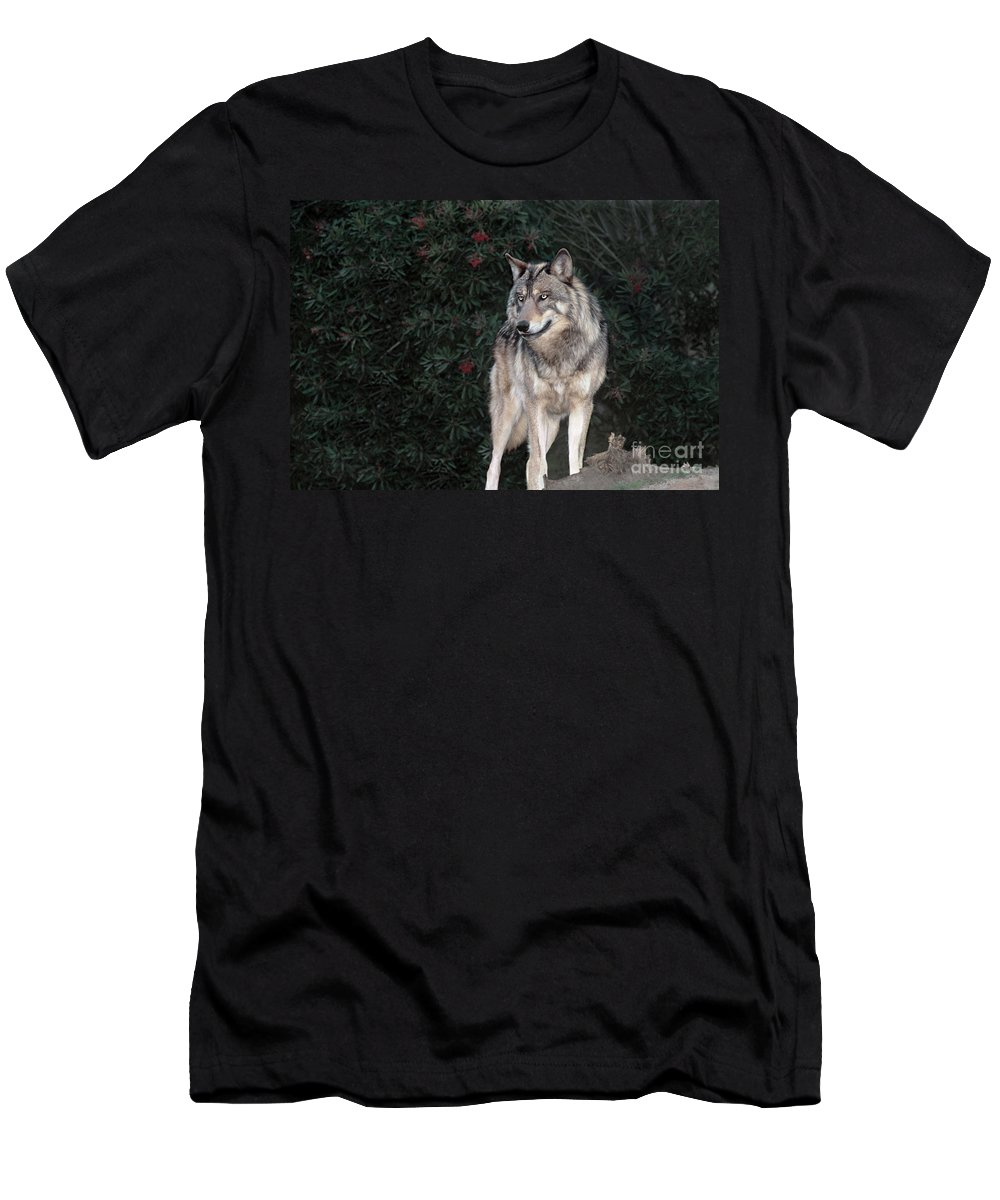 Gray Wolf Men's T-Shirt (Athletic Fit) featuring the photograph Gray Wolf Endangered Species Wildlife Rescue by Dave Welling