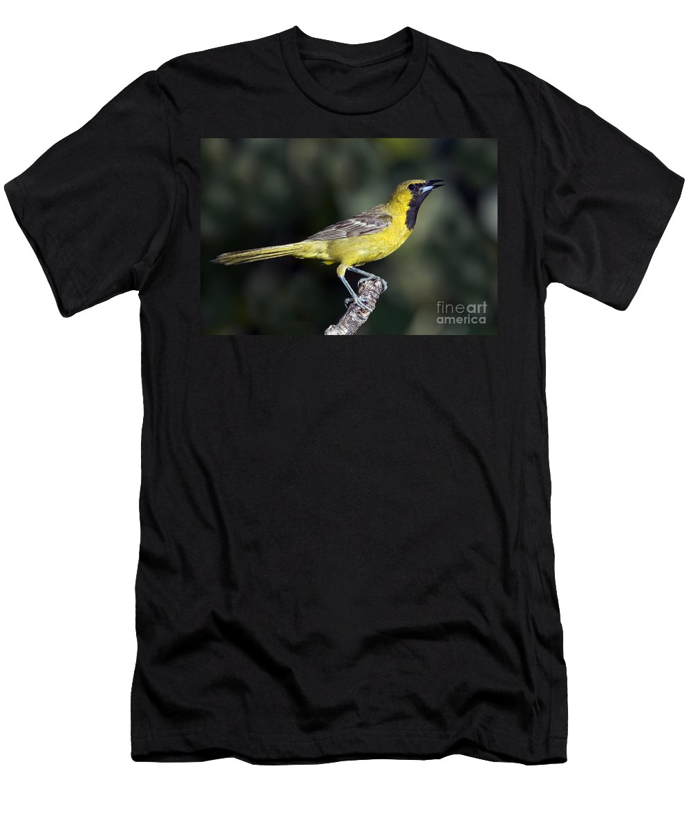 Hooded Oriole Men's T-Shirt (Athletic Fit) featuring the photograph Hooded Oriole Juvenile by Anthony Mercieca