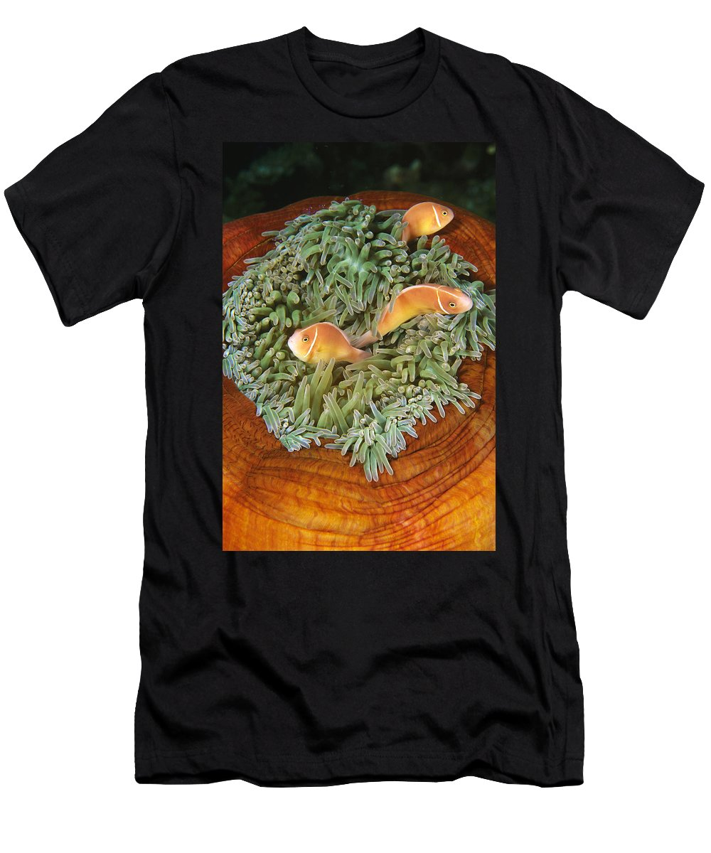 Feb0514 Men's T-Shirt (Athletic Fit) featuring the photograph Pink Anemonefish Trio Papua New Guinea by Becca Saunders