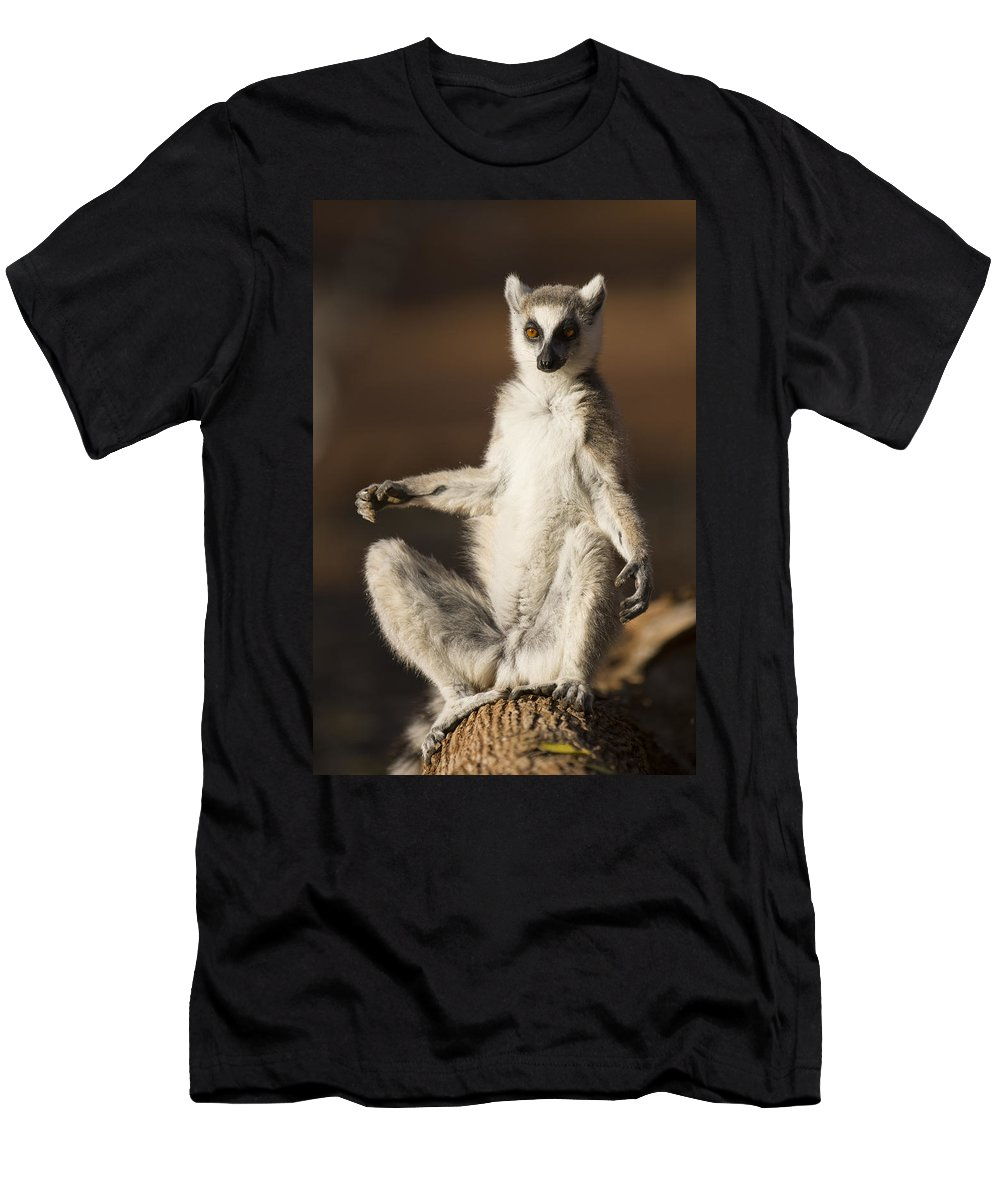 Feb0514 Men's T-Shirt (Athletic Fit) featuring the photograph Ring-tailed Lemur Sunning Berenty by Suzi Eszterhas