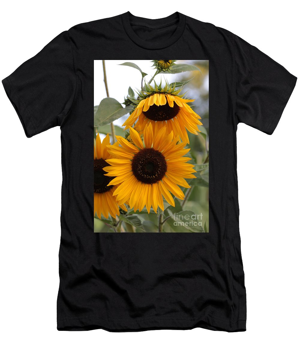 Sunflower Men's T-Shirt (Athletic Fit) featuring the photograph Soft Colors Sunflowers by Carol Groenen