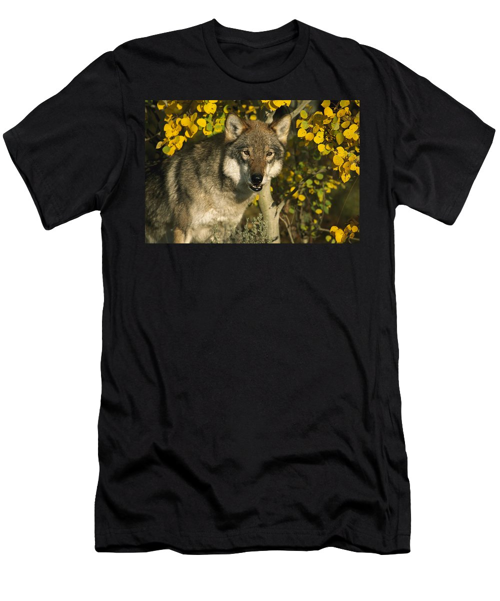 Feb0514 Men's T-Shirt (Athletic Fit) featuring the photograph Timber Wolf Teton Valley Idaho by Tom Vezo