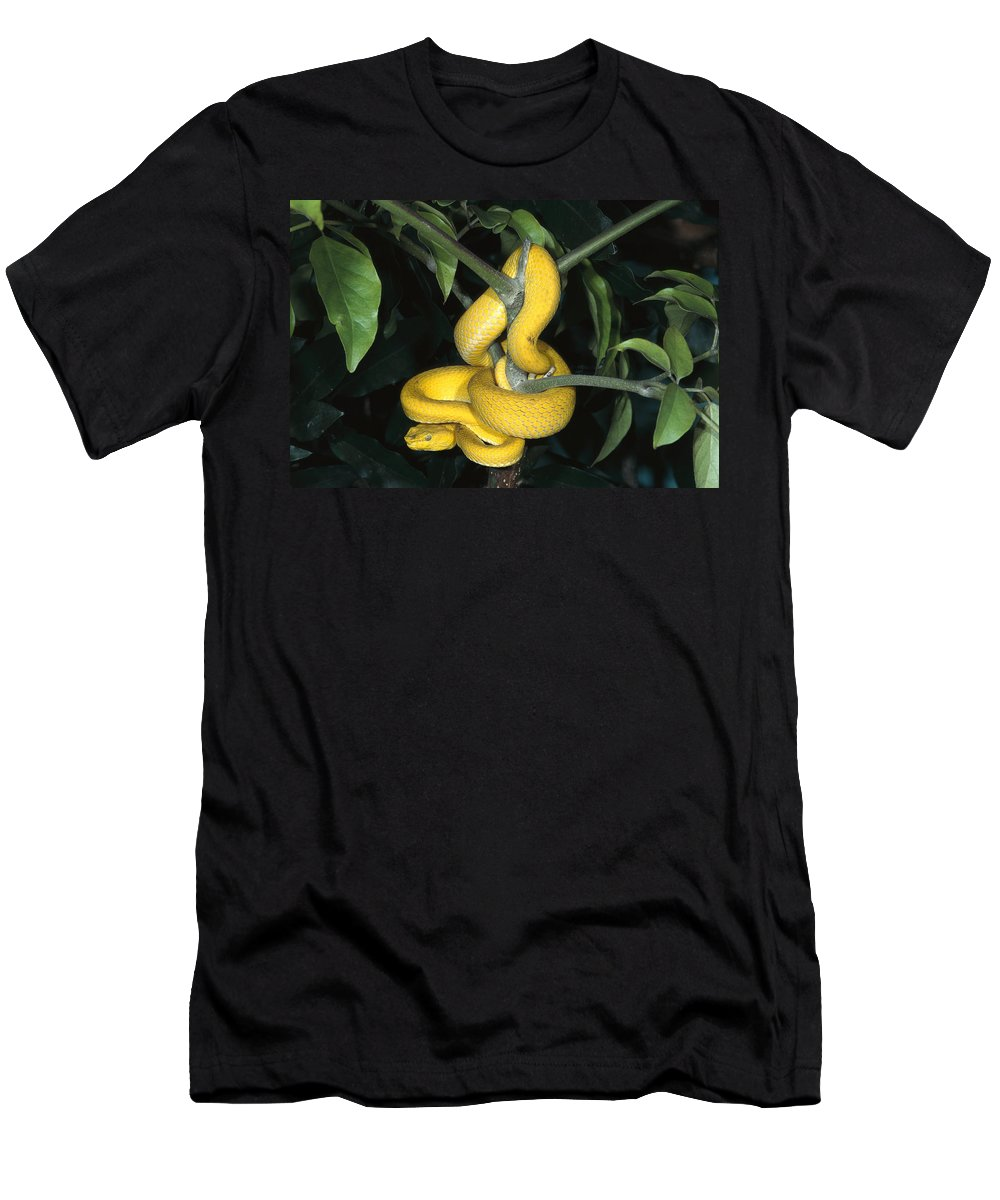 Feb0514 Men's T-Shirt (Athletic Fit) featuring the photograph Vemonous Mcgregors Pit Viper Coiled by San Diego Zoo