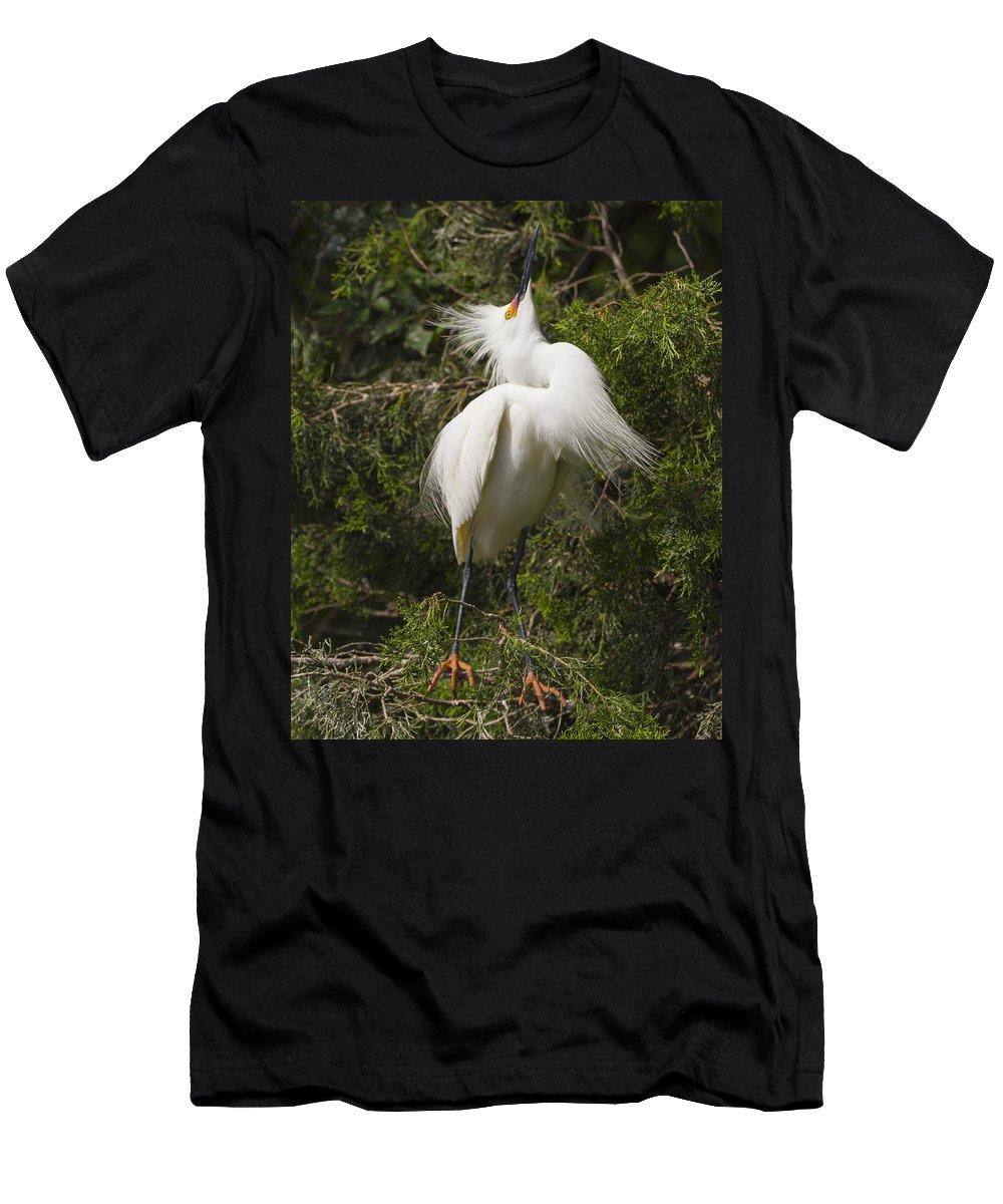 Bird Behavior Men's T-Shirt (Athletic Fit) featuring the photograph Bird Mating Display - Snowy Egret by Bill Swindaman