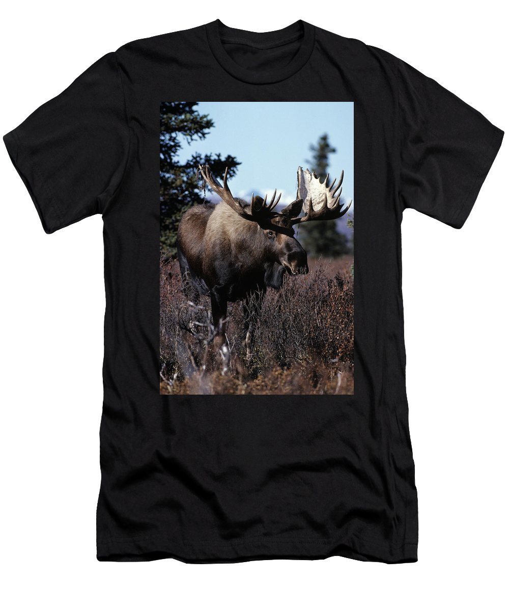 Animal Men's T-Shirt (Athletic Fit) featuring the photograph Bull Moose by Natural Selection Bill Byrne