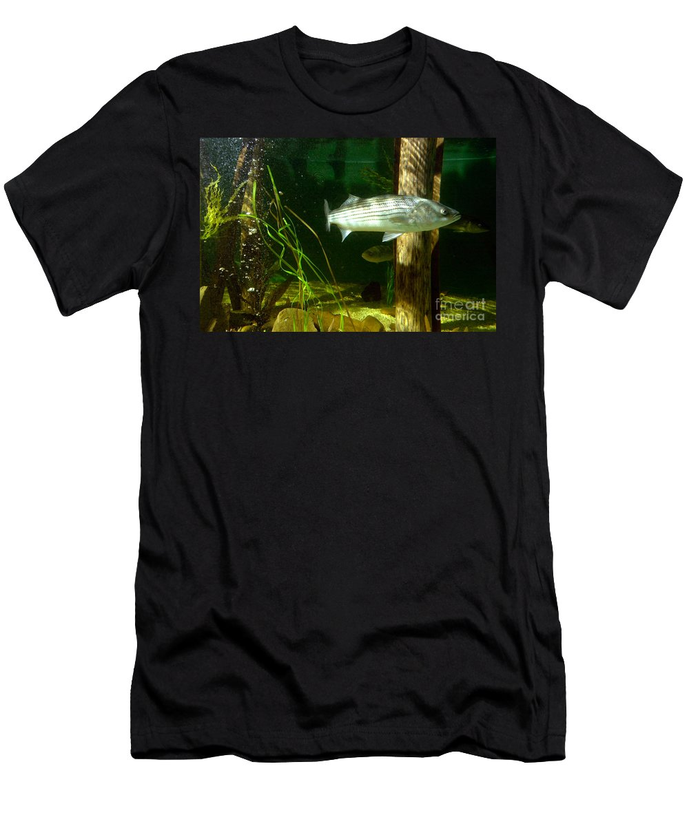 Aquarium Men's T-Shirt (Athletic Fit) featuring the photograph Striped Bass In Aquarium Tank On Cape Cod by Matt Suess