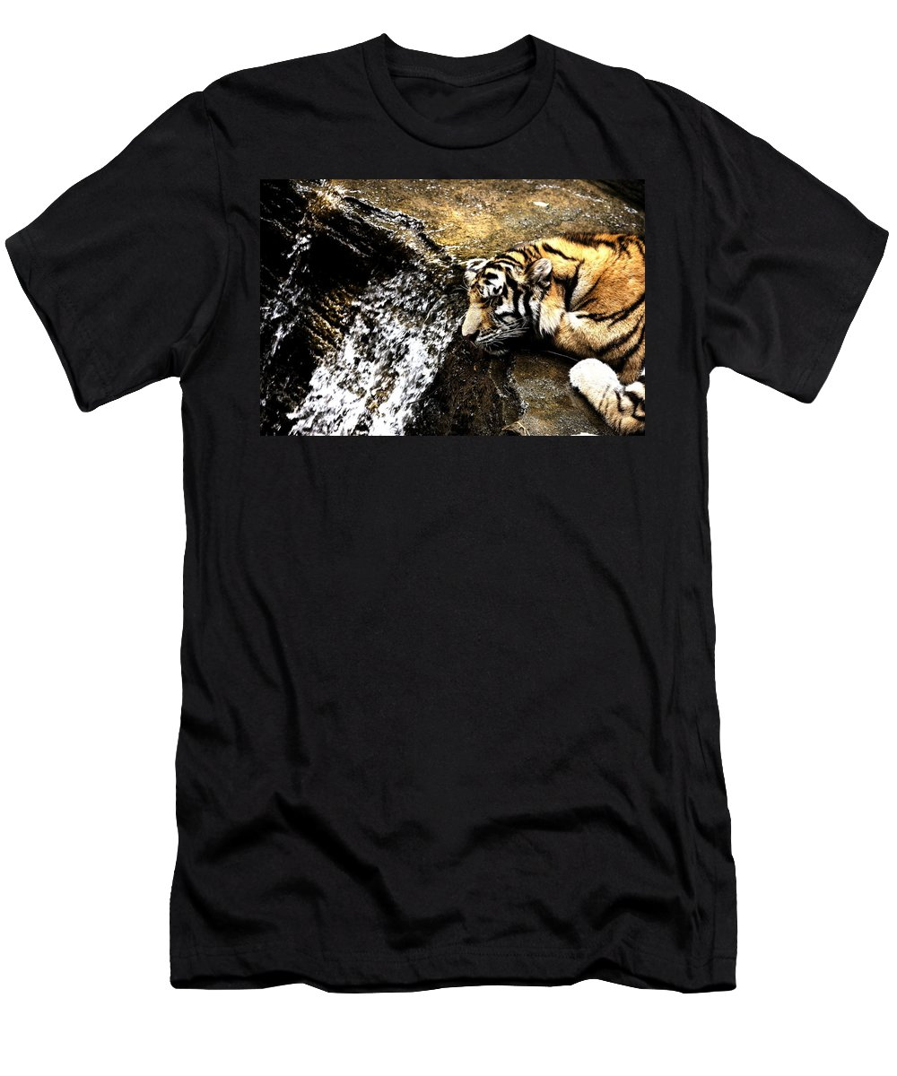 Amur Tiger Men's T-Shirt (Athletic Fit) featuring the photograph Tiger Falls by Angela Rath