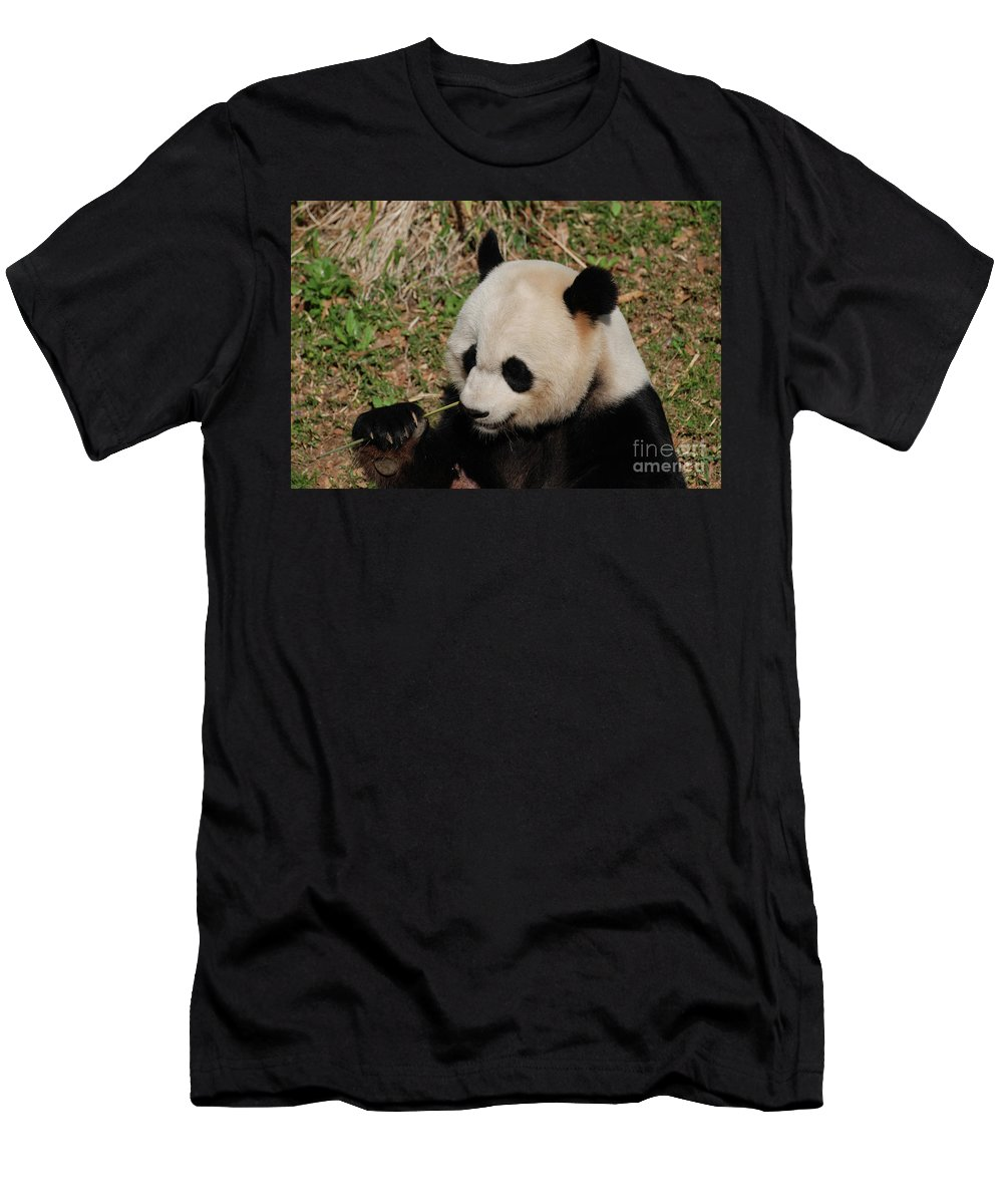 Panda Men's T-Shirt (Athletic Fit) featuring the photograph Amazing Panda Bear Holding On To Shoots Of Bamboo by DejaVu Designs