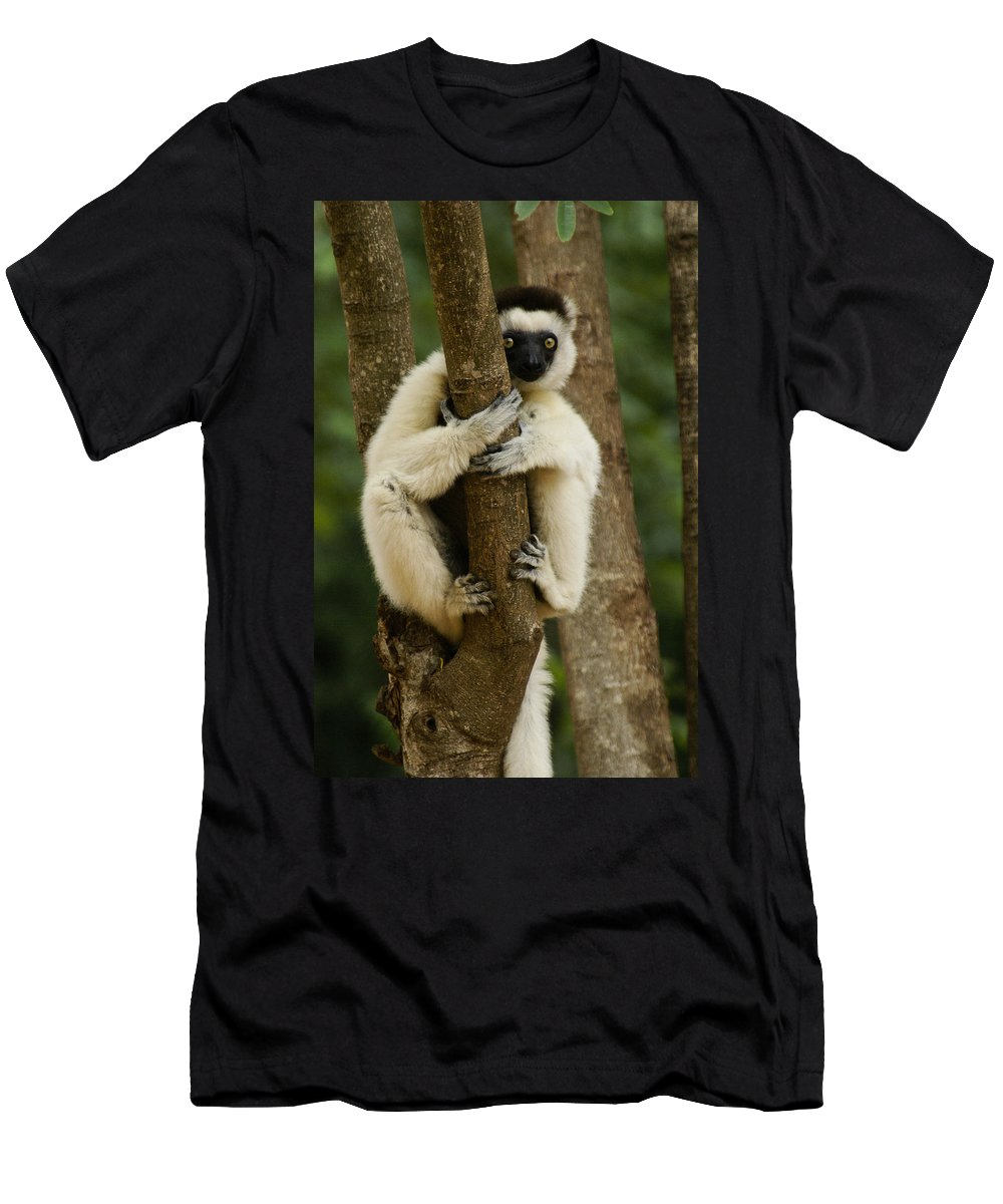 Madagascar Men's T-Shirt (Athletic Fit) featuring the photograph Verreaux's Sifaka by Michele Burgess