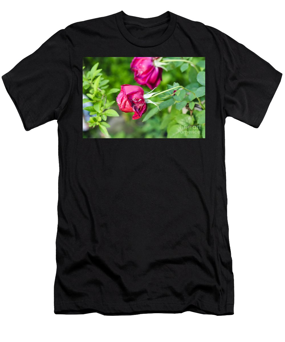 Softness Men's T-Shirt (Athletic Fit) featuring the photograph Red Rose Bud by Humorous Quotes