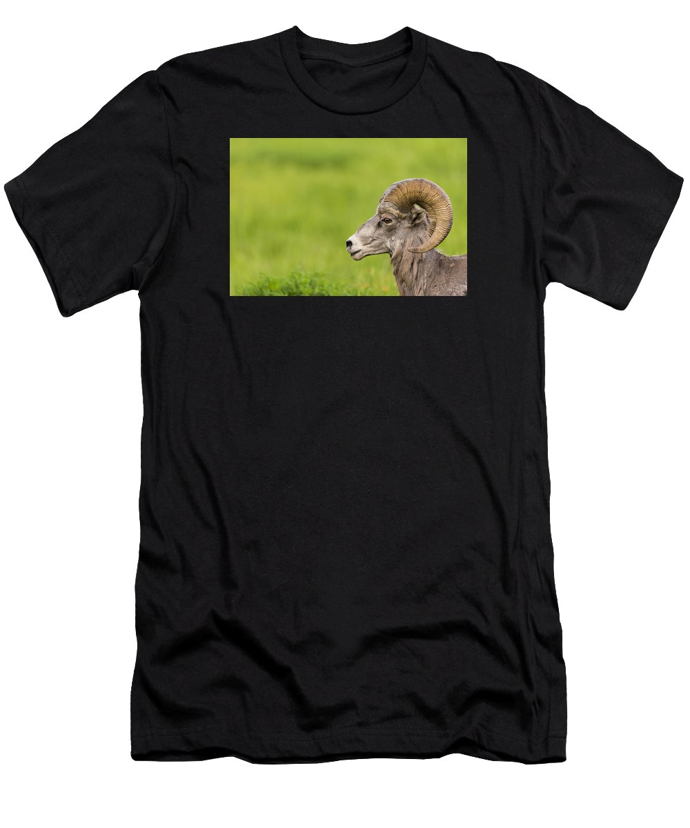 Canada Men's T-Shirt (Athletic Fit) featuring the photograph Rocky Mountain Big Horned Sheep by Brandon Smith
