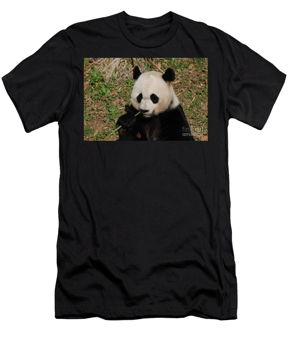 Panda Men's T-Shirt (Athletic Fit) featuring the photograph Adorable Giant Panda Eating A Green Shoot Of Bamboo by DejaVu Designs
