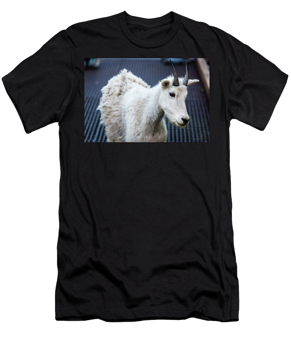 Animals Men's T-Shirt (Athletic Fit) featuring the photograph Baby Mountain Goat by Craig Tata