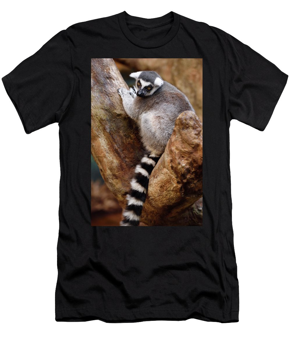 Lemur Catta Men's T-Shirt (Athletic Fit) featuring the photograph Captive Ring Tailed Lemur Perched In A Stone Tree by Reimar Gaertner