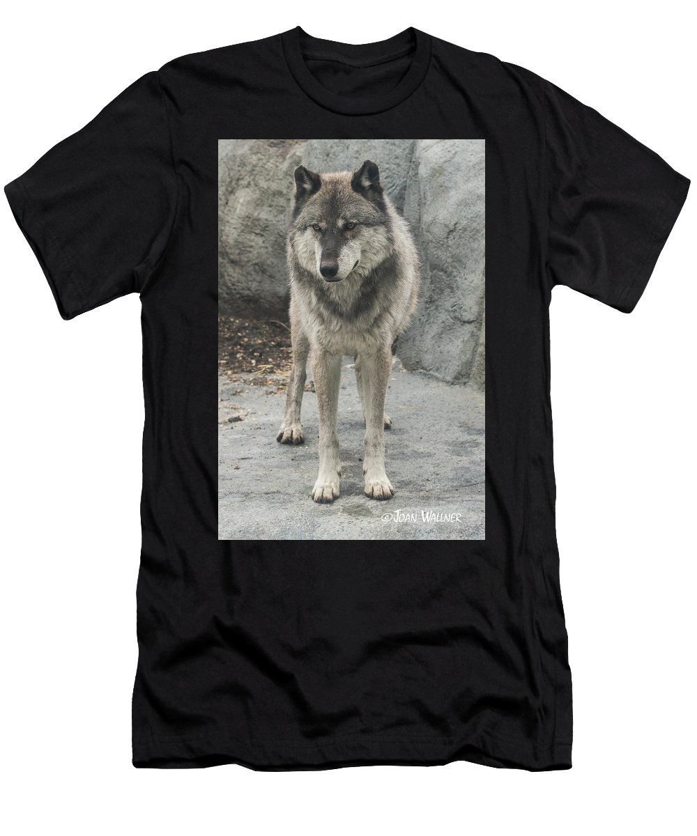 Gray Wolf Men's T-Shirt (Athletic Fit) featuring the photograph Gray Wolf Stare by Joan Wallner