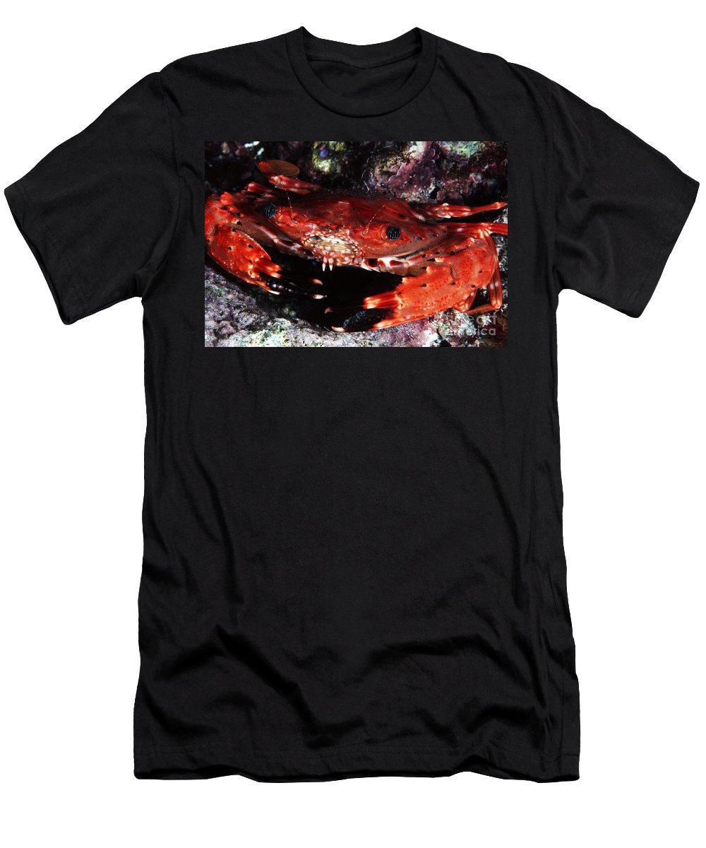 Animal Art Men's T-Shirt (Athletic Fit) featuring the photograph Hawaii Swimming Crab by Ed Robinson - Printscapes