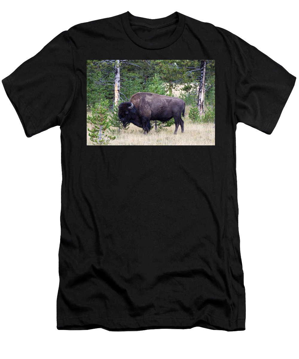 Bison Men's T-Shirt (Athletic Fit) featuring the photograph North American Buffalo Grazing Near Edge Of Woods During Late Su by Thomas Baker