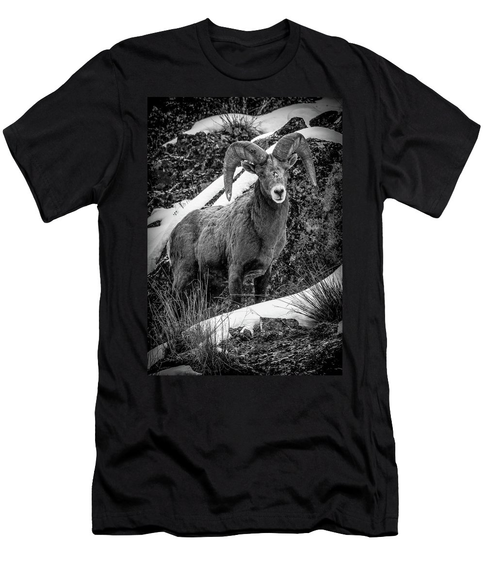 Bighorn Ram T-Shirt featuring the photograph Old Ram in the Snow by Jason Brooks