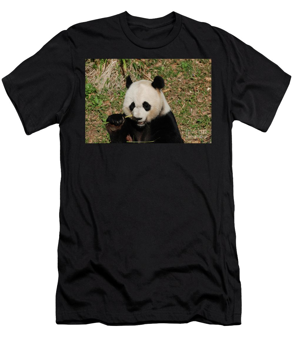 Panda Men's T-Shirt (Athletic Fit) featuring the photograph Really Great Panda Bear Chomping On A Fistful Of Bamboo by DejaVu Designs