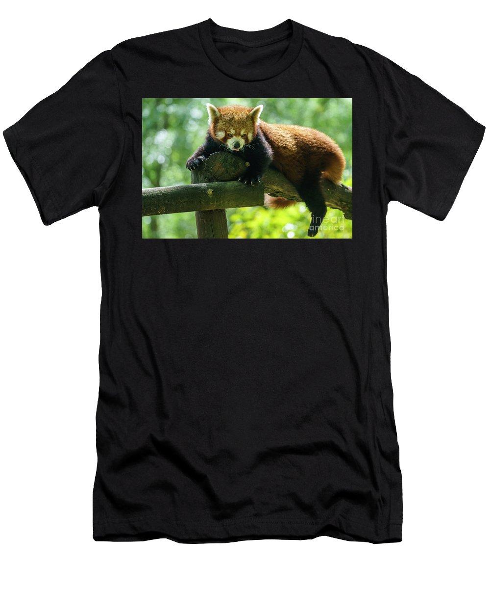 Cadiz Men's T-Shirt (Athletic Fit) featuring the photograph Red Panda Ailurus Fulgens Jerez De La Frontera Spain by Pablo Avanzini