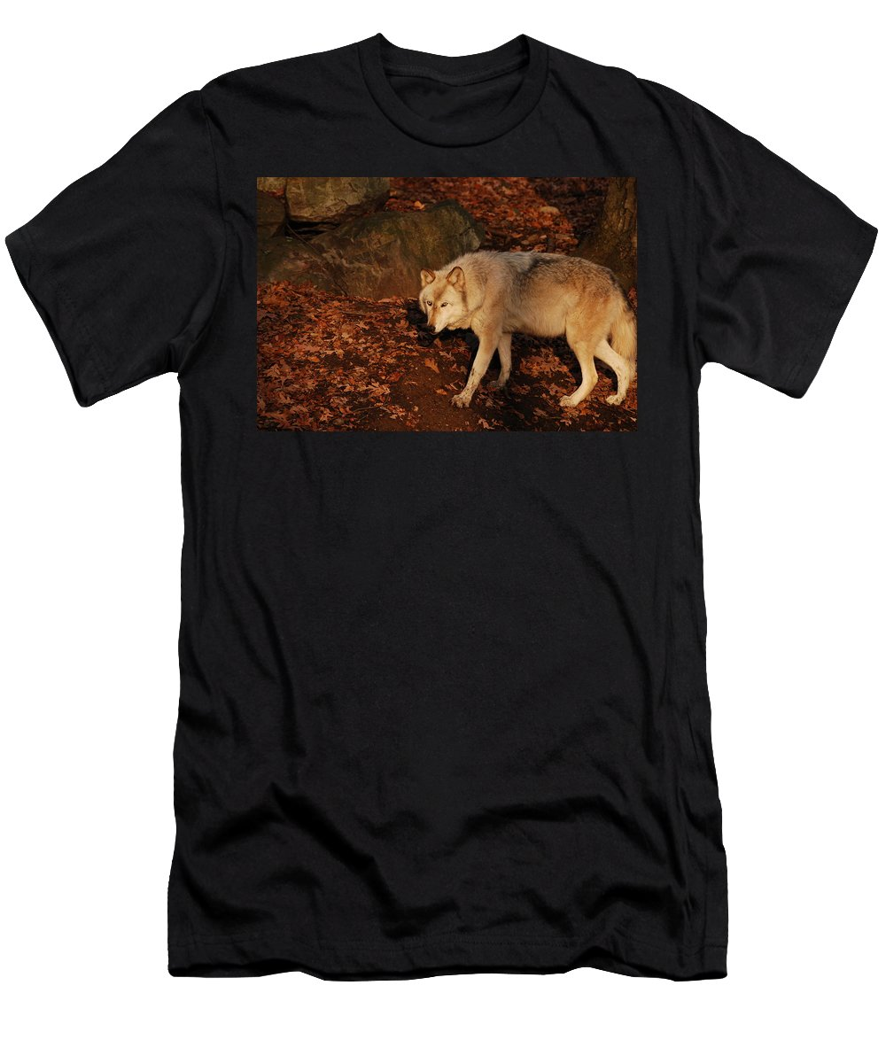Wolf Men's T-Shirt (Athletic Fit) featuring the photograph The Hunter by Lori Tambakis