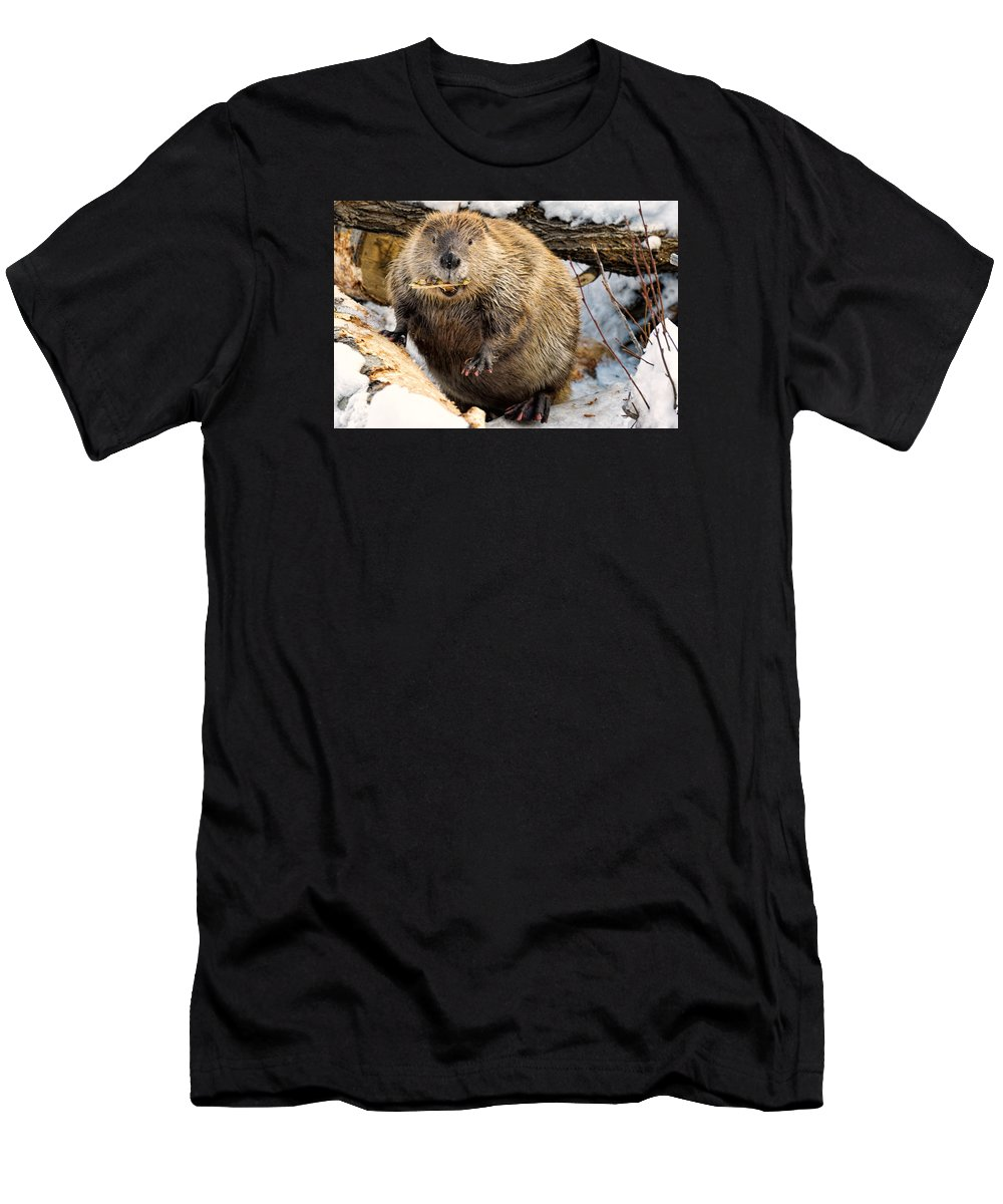 North American Beaver Men's T-Shirt (Athletic Fit) featuring the photograph You Caught Me by Dennis Bolton