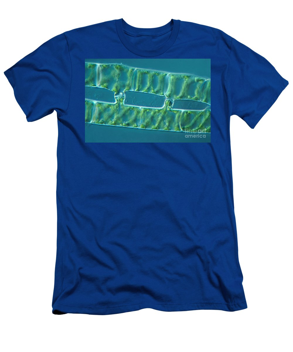 Differential Interference Contrast Microscopy Men's T-Shirt (Athletic Fit) featuring the photograph Conjugation In Algae, 2 Of 4 by M. I. Walker