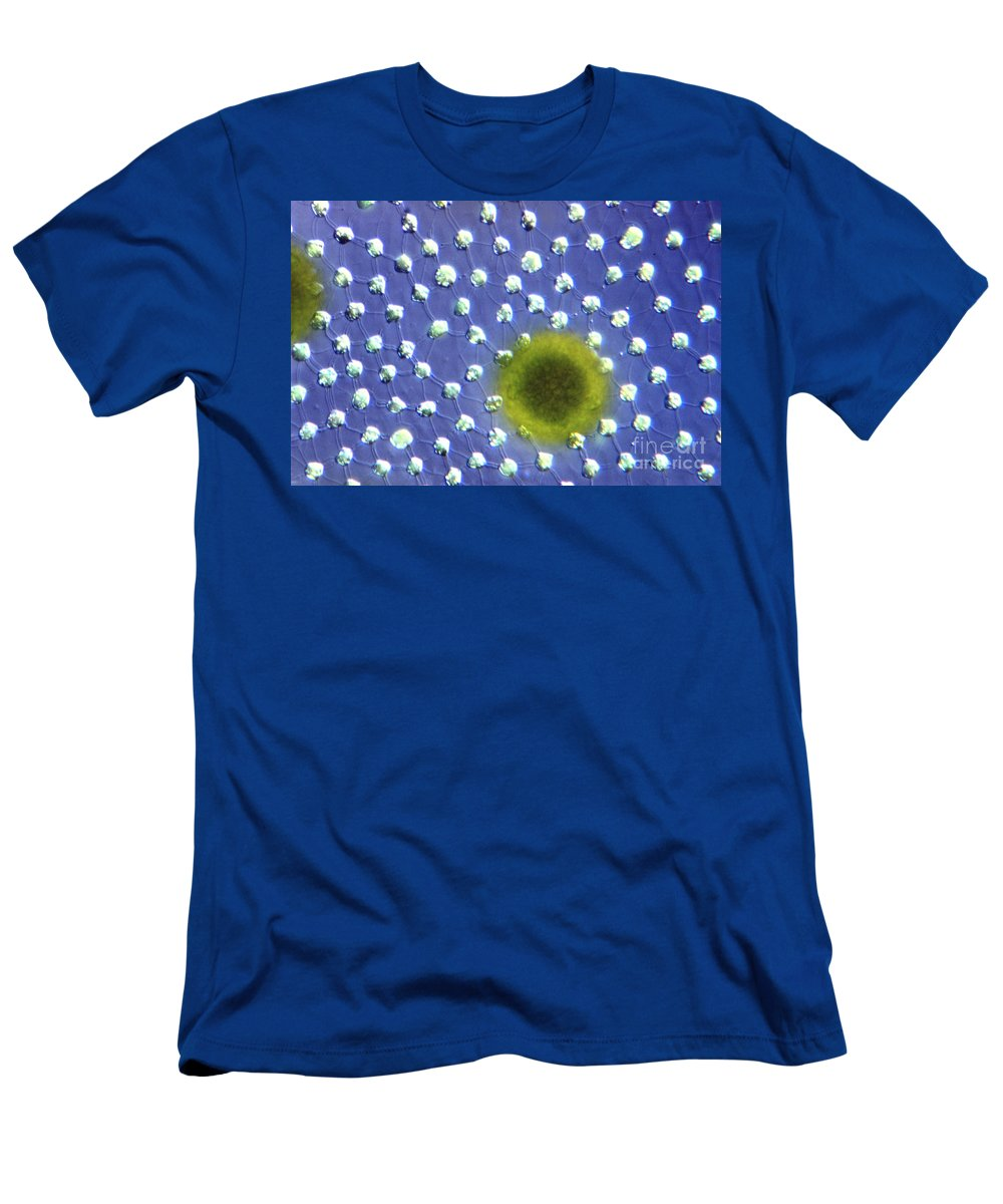 Light Microscopy Men's T-Shirt (Athletic Fit) featuring the photograph Volvox Aurelia by M. I. Walker