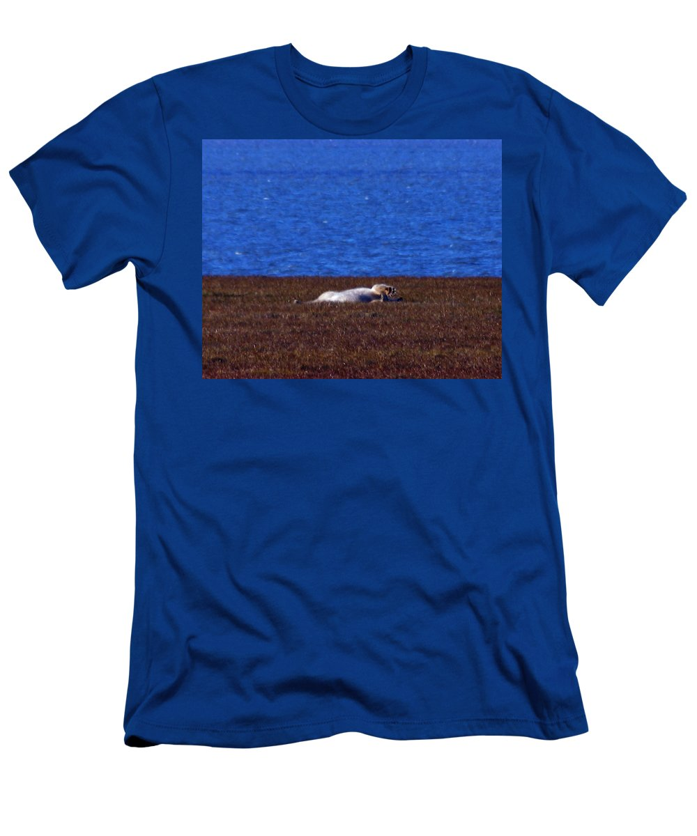 Polar Bear Men's T-Shirt (Athletic Fit) featuring the photograph Polar Bear Rolling In Tundra Grass by Anthony Jones