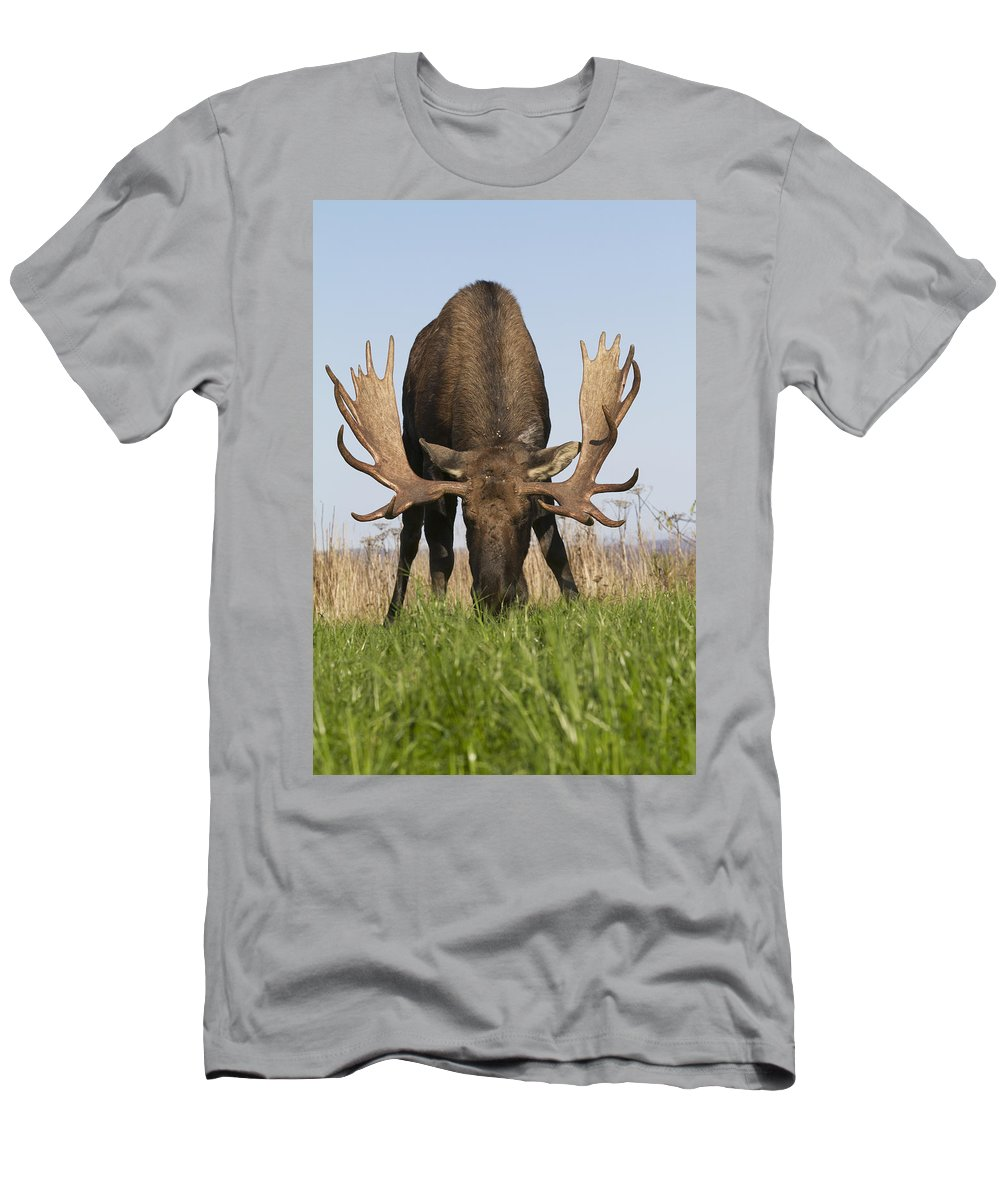 Alces Alces Men's T-Shirt (Athletic Fit) featuring the photograph A Large Bull Moose Feeds Near Point by Doug Lindstrand