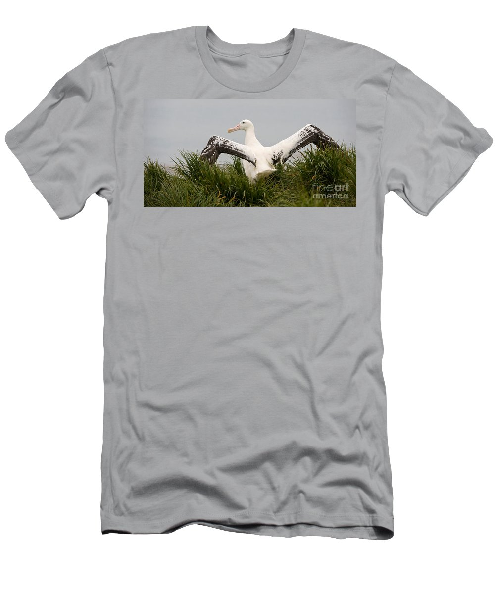 Albatross Men's T-Shirt (Athletic Fit) featuring the photograph Wandering Albatross by John Shaw