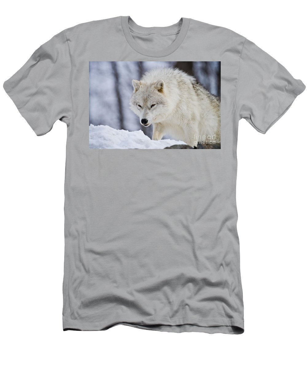 Arctic Wolf Photography Men's T-Shirt (Athletic Fit) featuring the photograph Arctic Wolf by Wolves Only