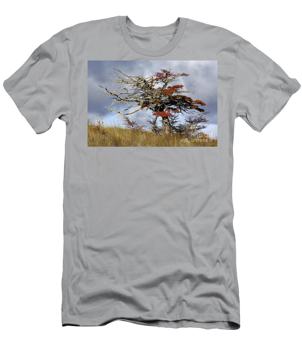 Nothofagus Men's T-Shirt (Athletic Fit) featuring the photograph Beech Tree, Chile by John Shaw