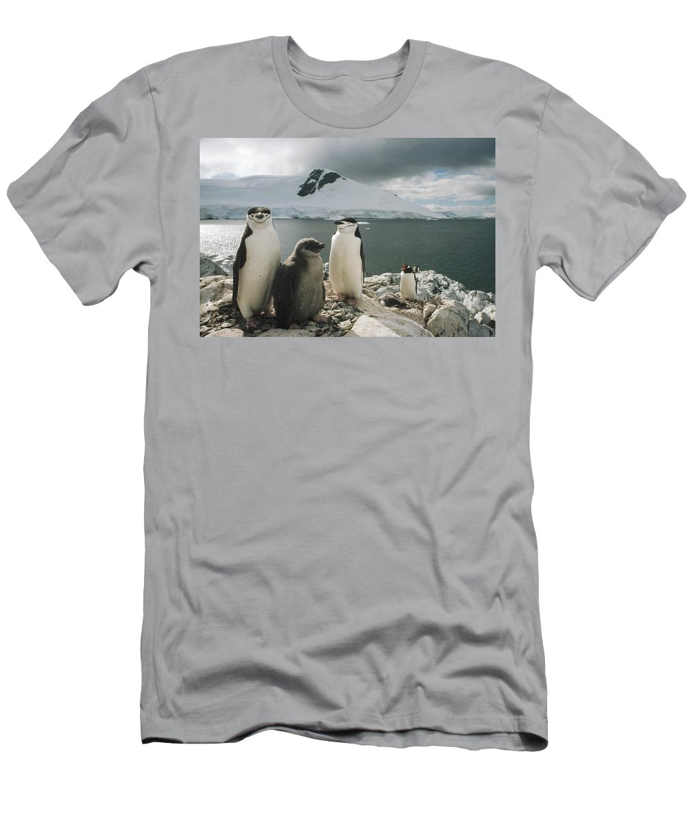 Feb0514 Men's T-Shirt (Athletic Fit) featuring the photograph Chinstrap Penguins With Chick Paradise by Tui De Roy