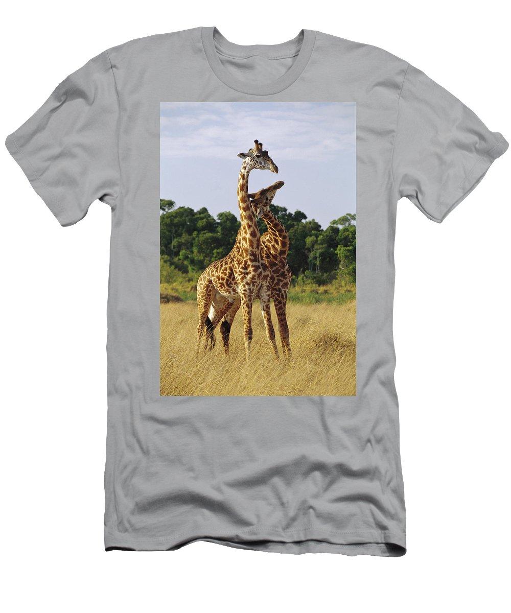 Feb0514 Men's T-Shirt (Athletic Fit) featuring the photograph Giraffe Males Sparring Masai Mara Kenya by Gerry Ellis